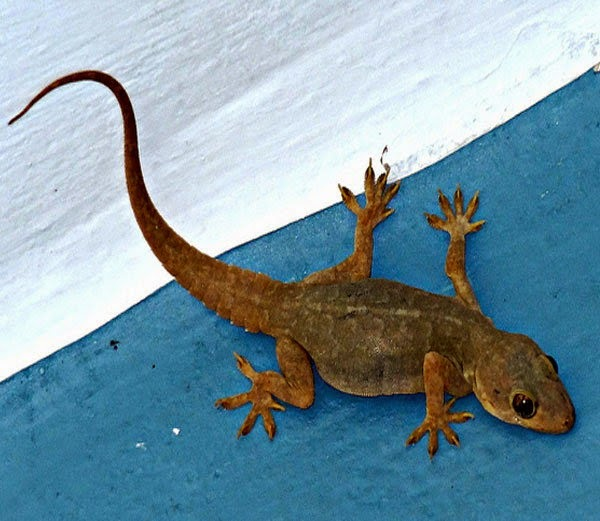 shakun shastra belong to lizards