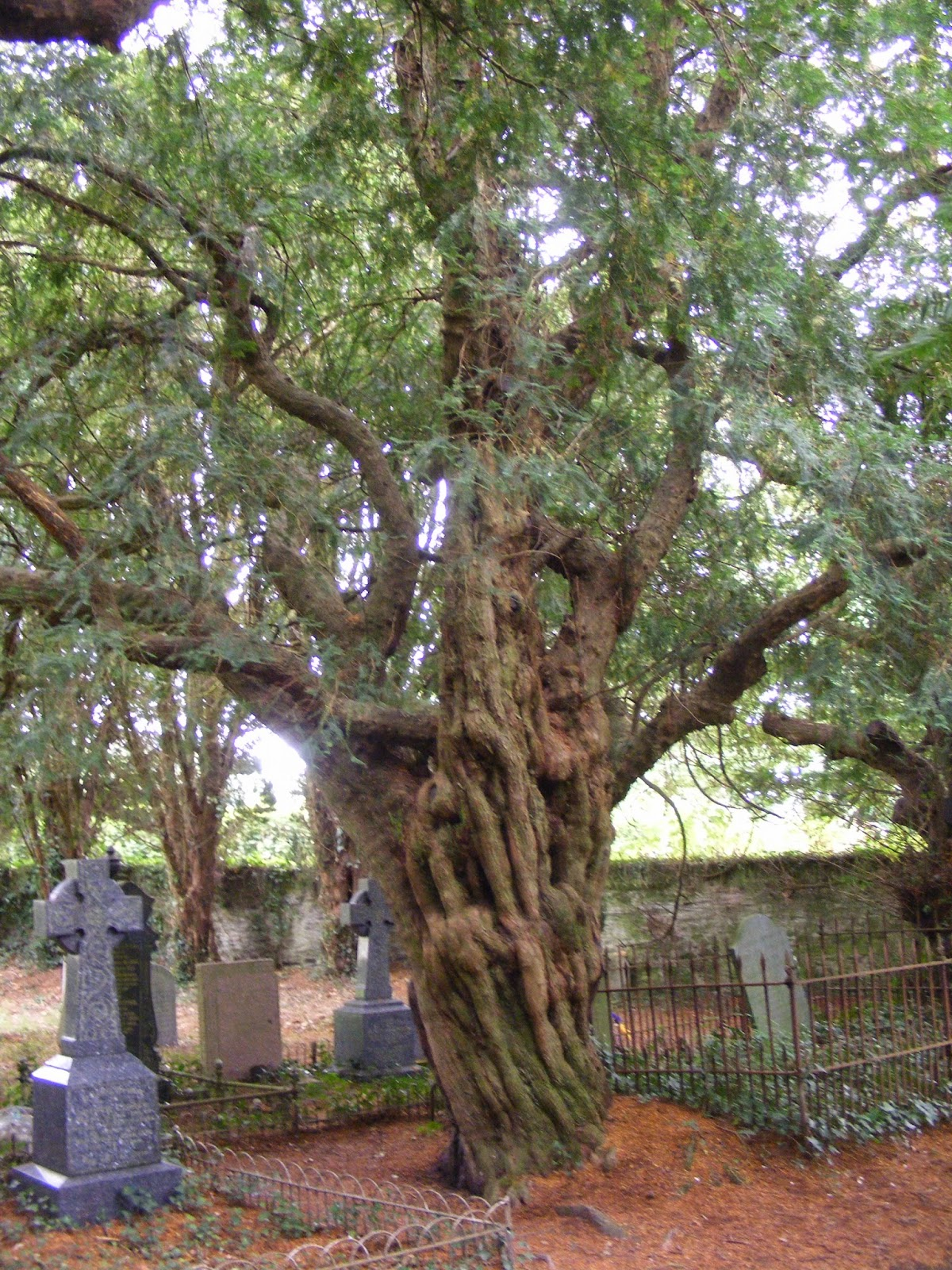 Which Trees Are Used To Make Paper: The Greenman: Great Trees Of Wales #2: Nevern's Bleeding Yew