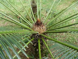 Cycas de Nouvelle Calédonie - Cycas seemannii - Cycas de Seemann