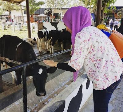 Wisata Edukasi Peternakan Milkindo, Malang