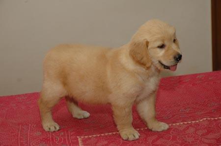 Cute&Cool Pets 4U: Golden Retriever Puppy Pictures