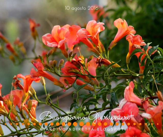 bignonia (campsis radicans) - il giardino dalla A alla Z -  i fiori della settimana - un giardino in diretta