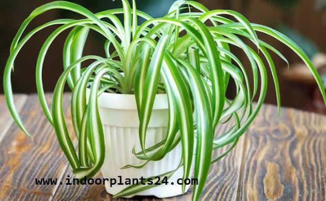 Chlorophytum Comosum indoor plant picture
