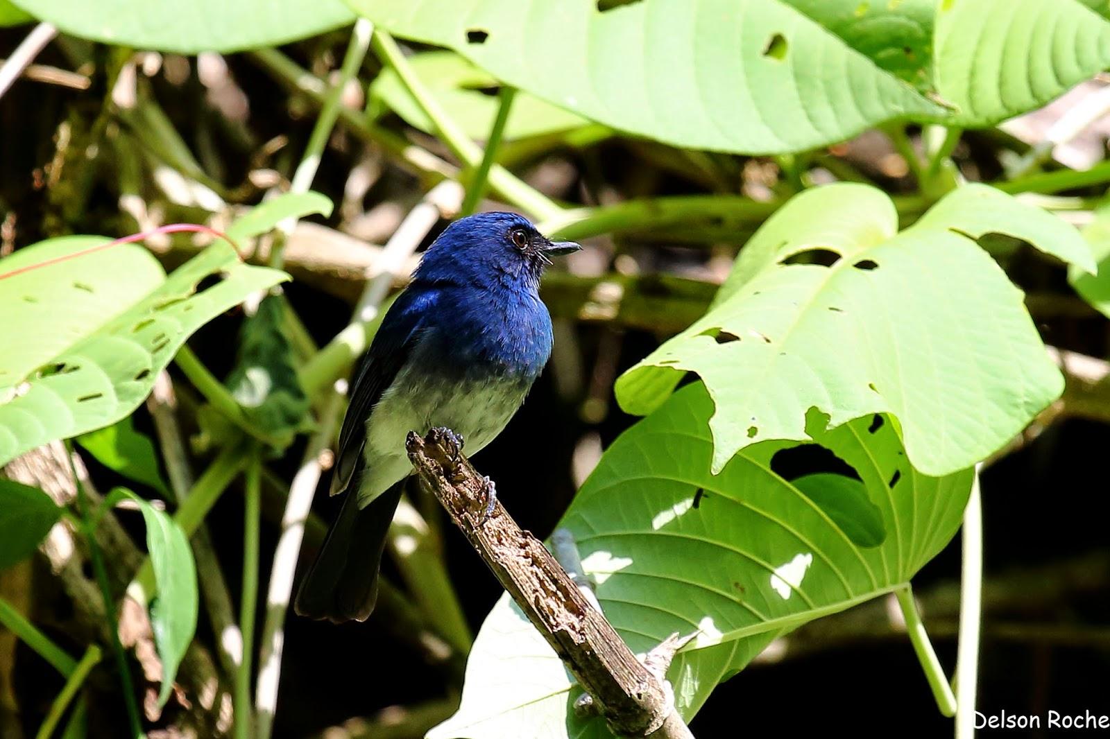 White bellied blue flycatcher