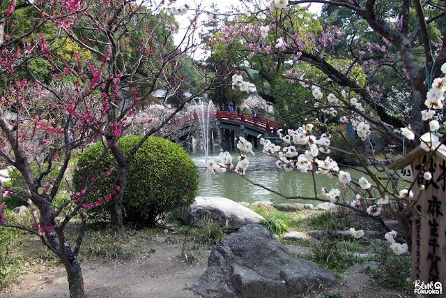満開の梅の花、太宰府天満宮、太宰府