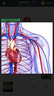 Кровообращение в артериях у человека, показана схема распределения