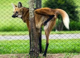 É o maior canídeo da América do Sul, não havendo diferenças significativas no peso de machos e fêmeas. É um animal difícil de confundir com os outros canídeos sul-americanos, por causa de suas longas e finas pernas, densa pelagem avermelhada e grandes orelhas.