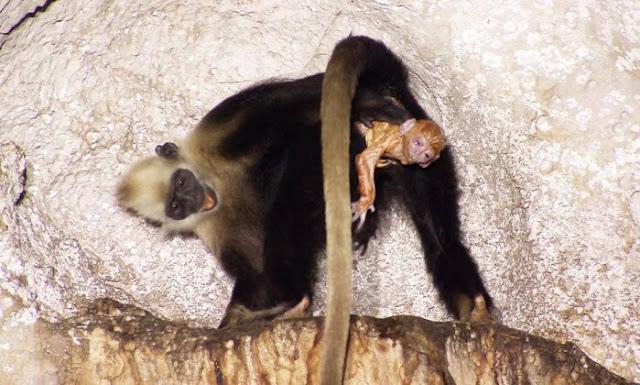 Os pesquisadores conseguiram gravar a sequência completa do nascimento com os detalhes do comportamento da mãe e da 'parteira'. Inicialmente, a ajudante sentou e observou o macaco tendo mais de 70 contrações. Aproximou-se apenas uma vez, quando a cabeça e os ombros do bebê já tinham aparecido. Ela então se levantou sobre as patas traseiras e pegou a criança com as duas mãos, puxando para seu peito. Dentro de 18 segundos, ela tinha retirado completamente o bebê do canal de nascimento da mãe.