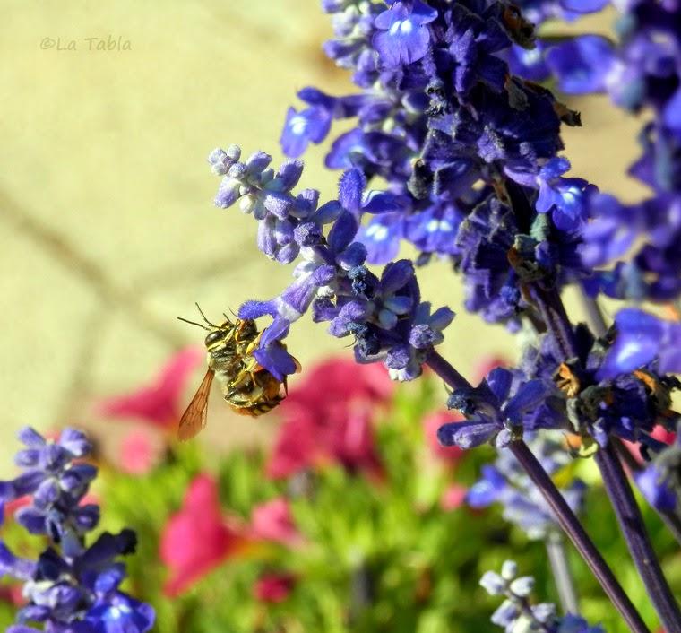 Salvia farinacea flor azul añil y mariposa cultivo y cuidados