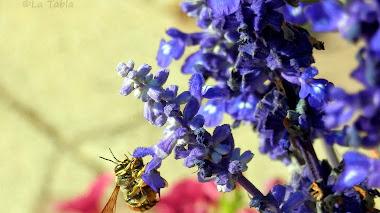 Y que le guste a las abejas: Salvia farinacea