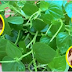 A Plant That May Grow Around Your Neiborhood That Is Good In Treating Arthritis, Gout And Many More