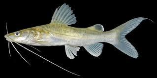 Kandungan Gizi Dari Ikan Baung