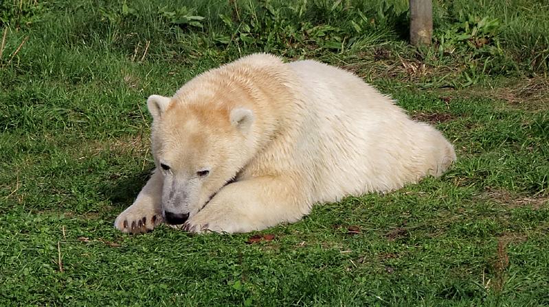 hvor meget vejer en isbjørn
