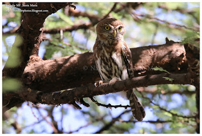 https://bioclicetphotos.blogspot.fr/search/label/Chev%C3%AAchette%20perl%C3%A9e%20-%20Glaucidium%20perlatum