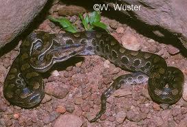 serpientes Argentinas Boa arco iris Epicrates cenchria