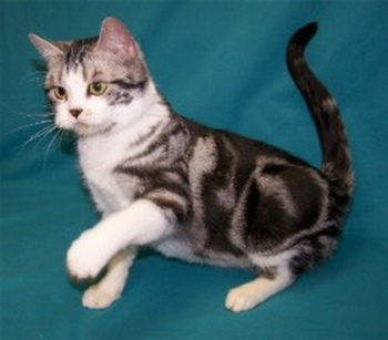 Chihuahua Puppies American Shorthair Cat Pictures