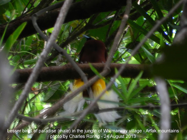 Birdwatching in Susnguakti forest of Manokwari