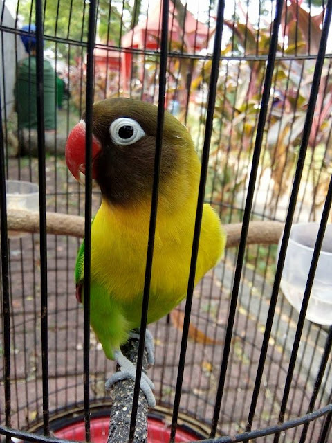 Cara keluarkan sifat fighter lovebird jantan muda