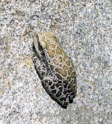 Hypsiboas cordobae