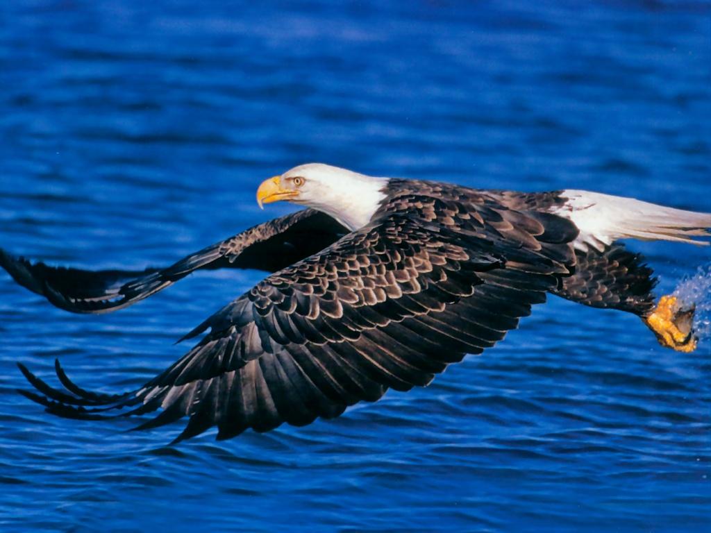 Eagle Bird Collection Of Wild Life Animals Wallpapers For: Wallpaper DB: Bald Eagle Wallpaper
