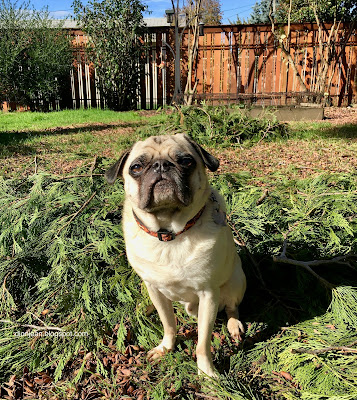 Liam the pug in the yard