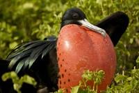 Burung Cikalang Besar