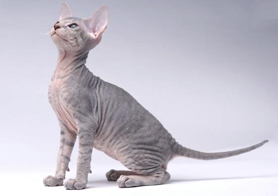 kucing paling unik dan aneh