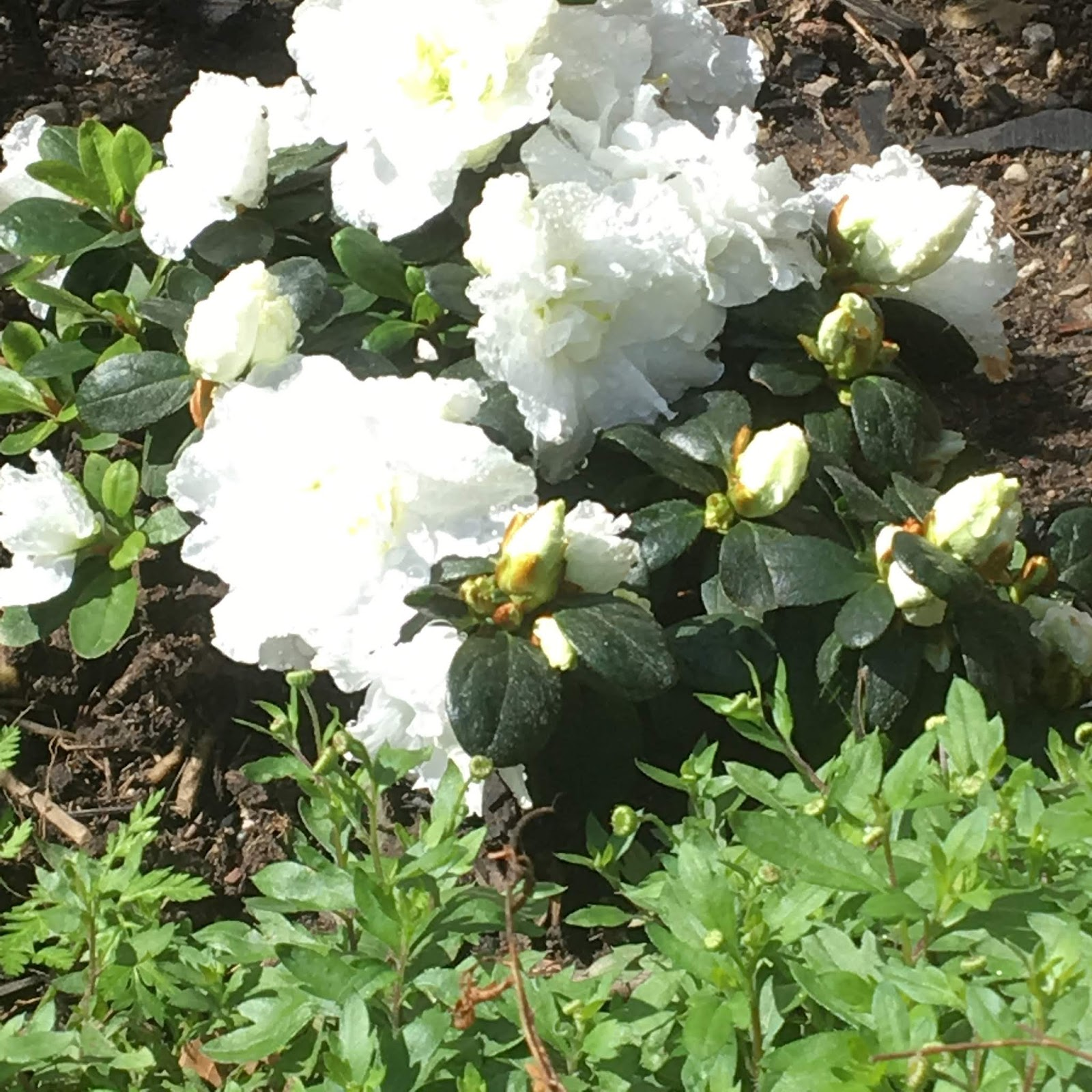 Old Lady Rower White Garden Progress