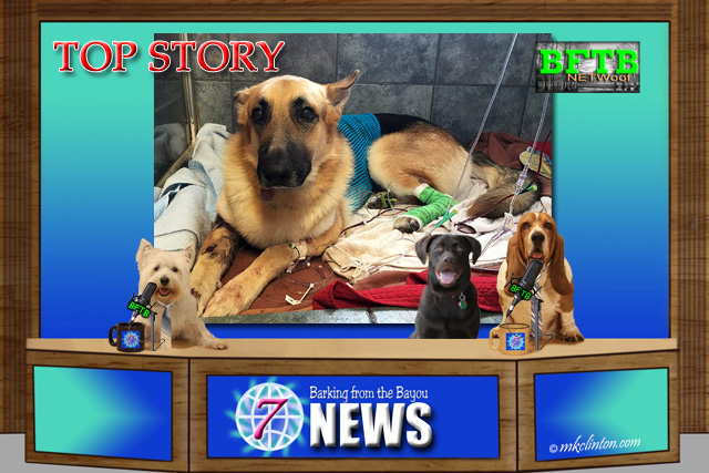BFTB NEWS set with GSD being treated for snake bite in back screen