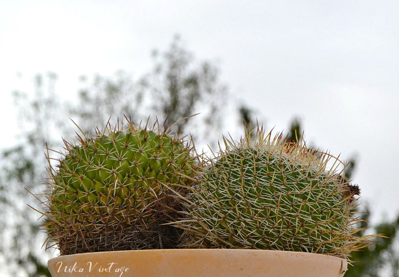 8 cactus preciosos que debes tener en casa nika vintage for Planta venenosa decorativa