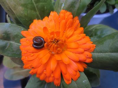 millipede-on-orange-flower-test-photo