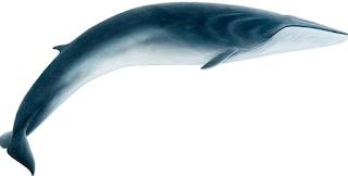 Fin Whale, Balaenoptera physalus