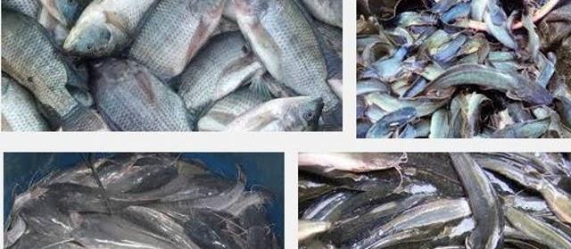 Ini Dia 40 Jenis Ikan Konsumsi Air Tawar Beserta Gambarnya