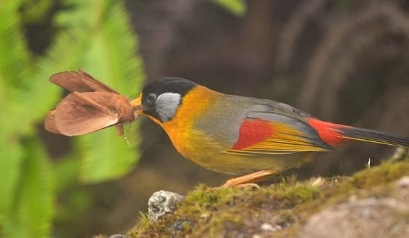 gambar-burung-pancawarna