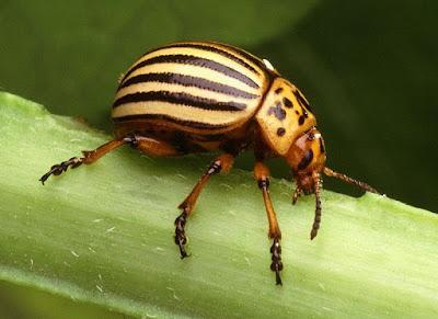 gândacul-de-colorado