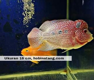 Jenis Ikan Louhan Cencu