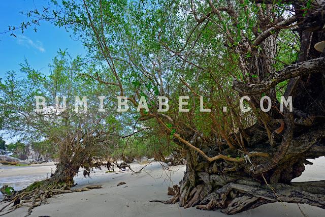 pohon-kayu-mentigi-di-pulau-bangka