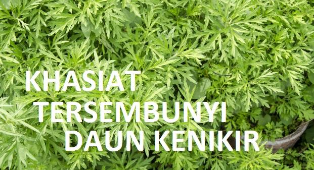 Khasiat dan manfaat tanaman kenikir