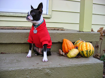 Sinead the Boston terrier in her jacket