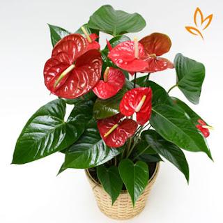 Cây hồng môn - cây xanh cải thiện tia bức xạ trong văn phòng
