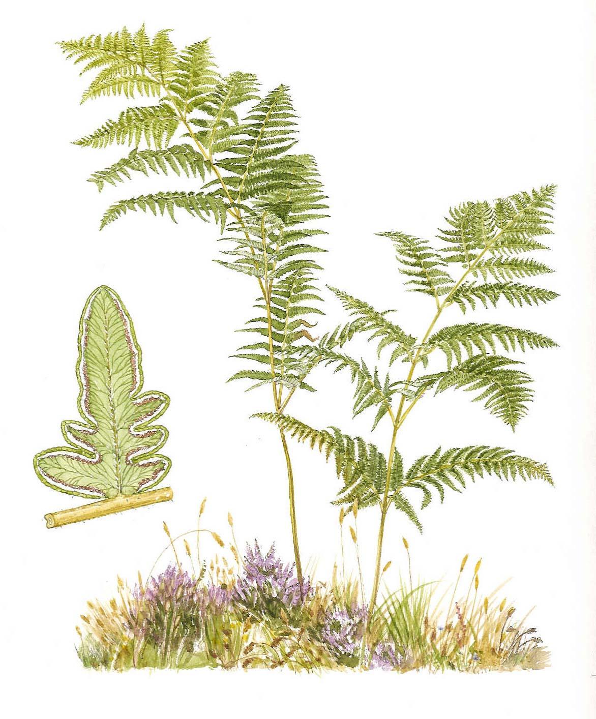 Hematuria Enzootica Bovina, intoxicación por helecho Pteridium ...
