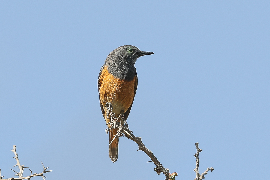 Little Rock Thrush