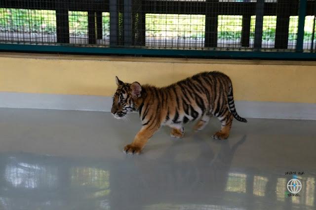 tygrysy tajlandia