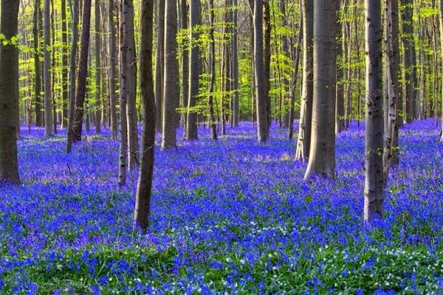Синий лес Халлербос в Бельгии