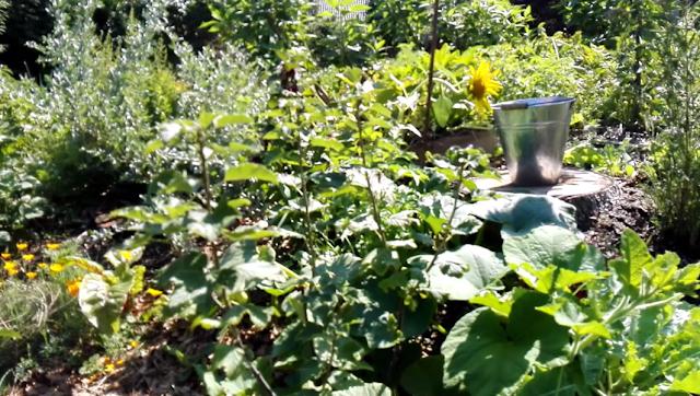 Evolution du jardin bio en permaculture devant la maison au 1er septembre 2018 (vidéo)