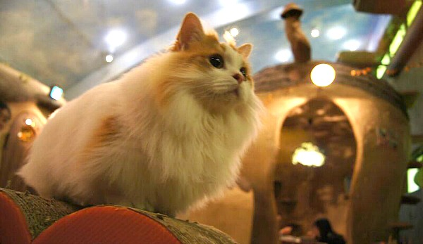 turkish van cat café