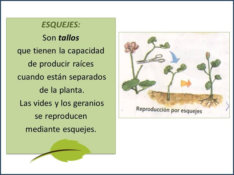Reproduccion asexual de las plantas por estacas del