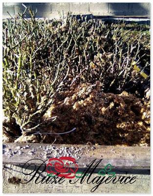 Isporuka ruza stablasica, Ruze Majevice, Peljave