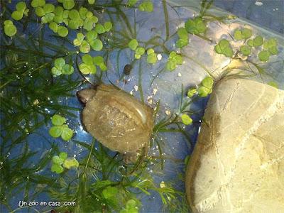 Cría de tortuga de bosque en su recipiente