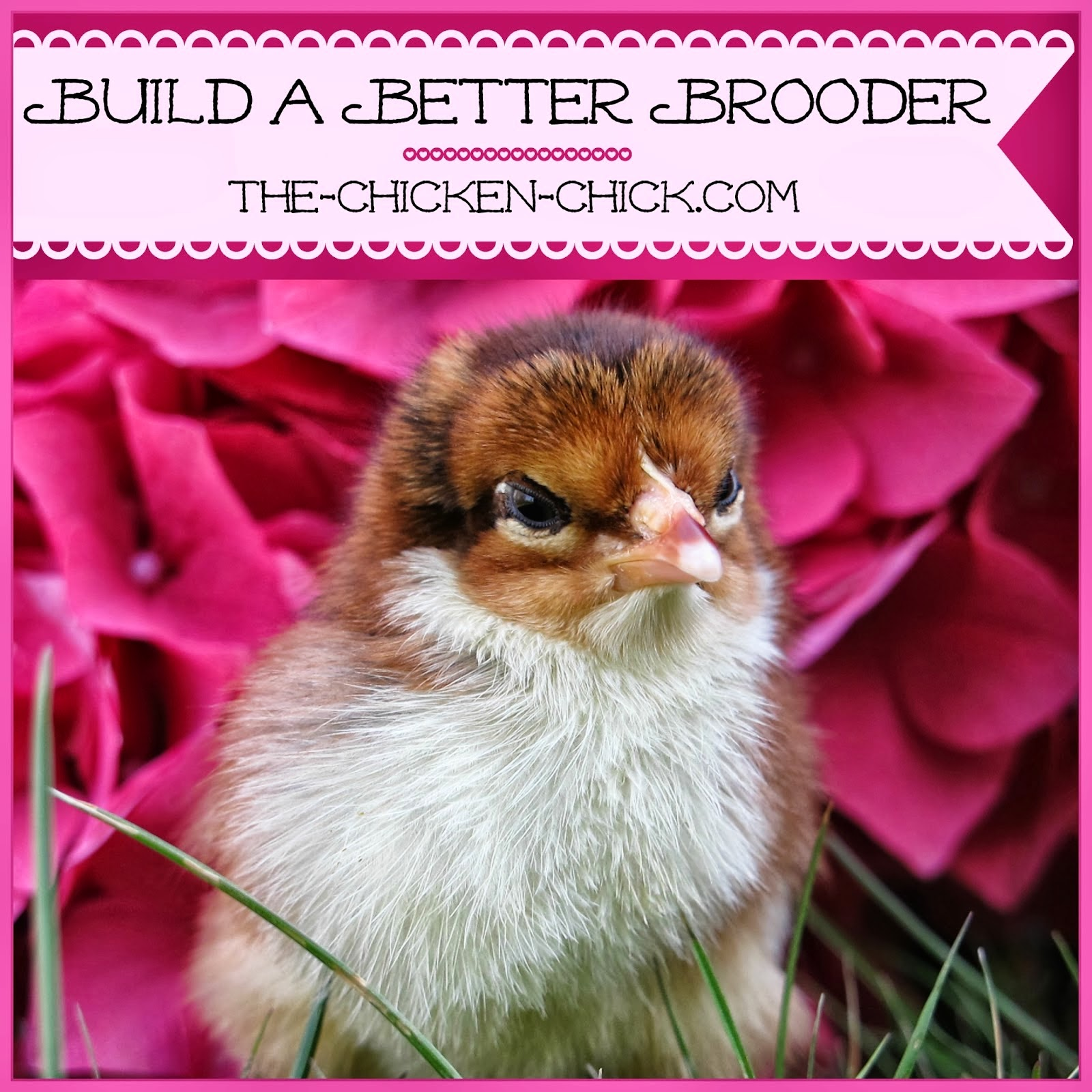 No need to invest in expensive housing for chicks- with a little creativity, you can make a brooder that perfectly accommodates day old chicks with the flexibility for expansion as they grow!
